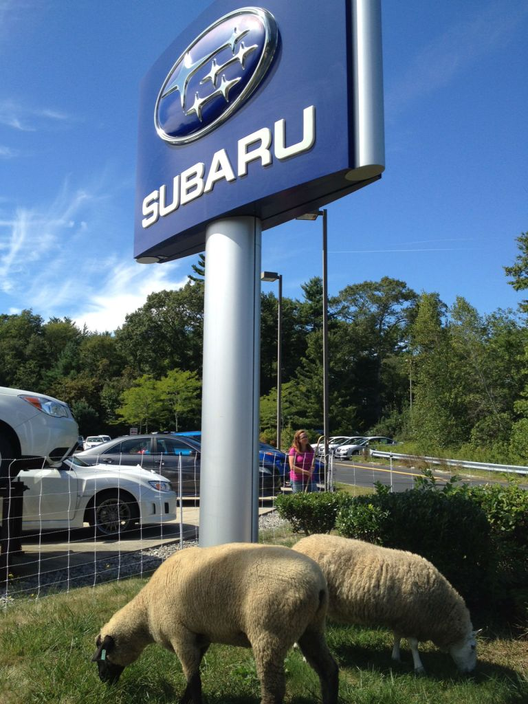 Goatscaping with subaru sign large